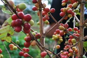 Ripe coffee cherries in Maui