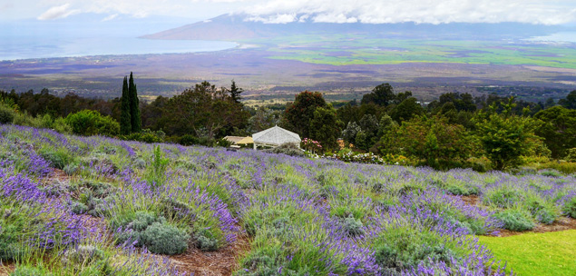 View from the Kula Lavender Farm