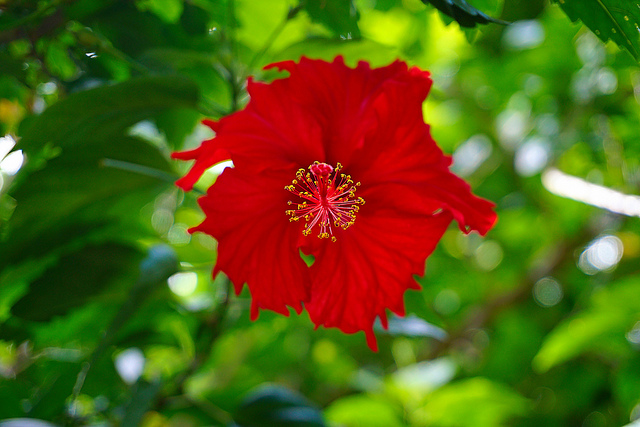 Hibiscus, perfection